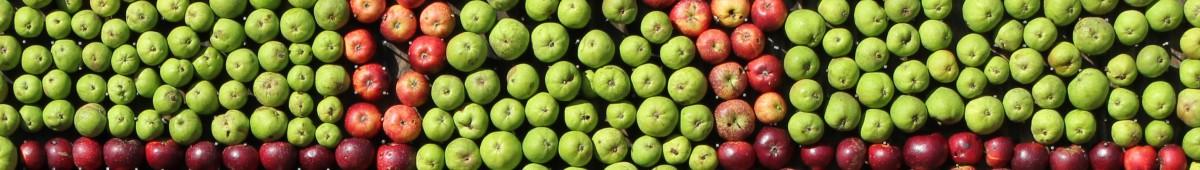 Udplantning af æbletræer i Rødding Sogn